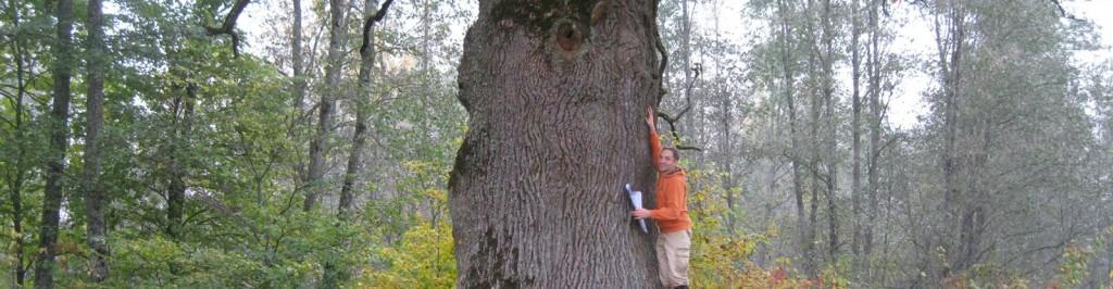 Die Stieleiche (Quercus robur L., Syn.: Quercus pedunculata Hoffm.) Eiche von Cirole, Baumumfang 6,35 m