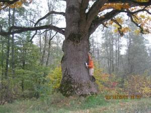 Ein Baum - Stieleiche (Quercus robur L., Syn.: Quercus pedunculata Hoffm.) Eiche von Cirole, Baumumfang 6,35 m